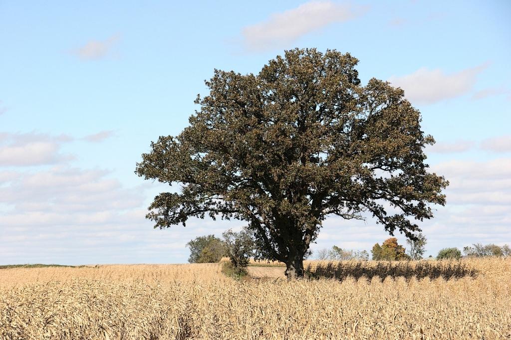 a-tree-in-a-corn-field