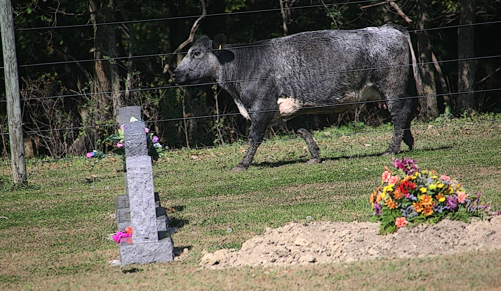 cattle-by-rock-dell-cemetery-123