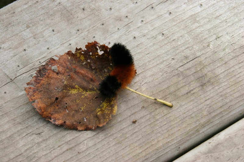 nature-center-29-caterpillar-on-cottonwood-leaf
