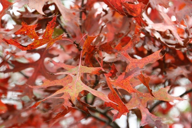 river-bend-41-red-oak-leaves-up-close