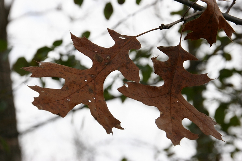 river-bend-42-oak-leaf-close-up