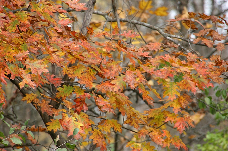 river-bend-45-more-oak-leaves