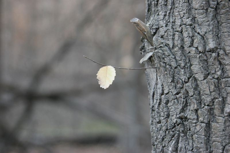 trail-9-single-leaf-on-tree