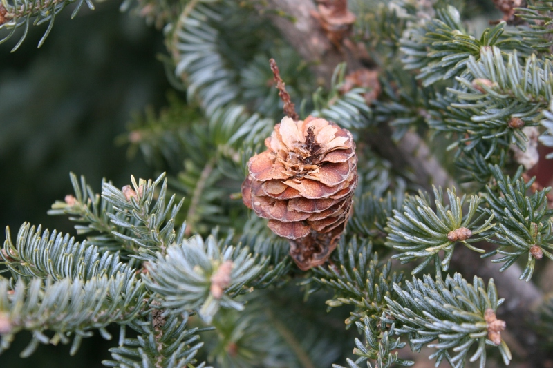christmas-trees-1-pinecone