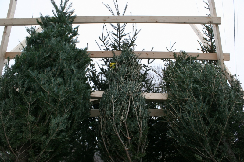 christmas-trees-8-three-trees-close-up
