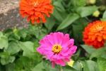 paine-gardens-120-zinnias