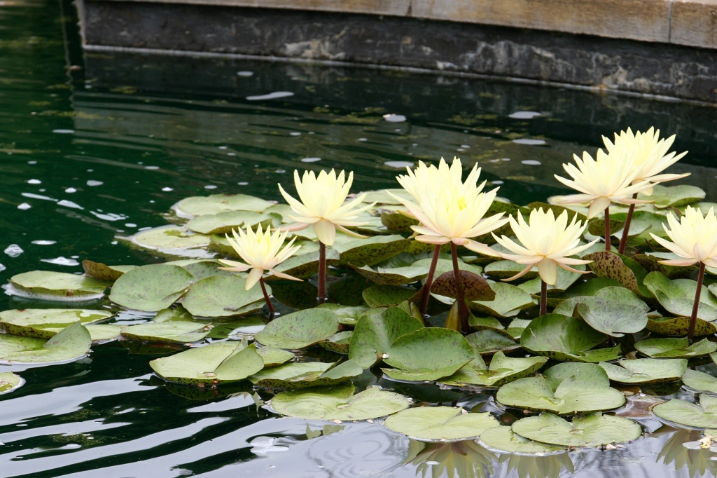 How lovely those lilies in the pond.