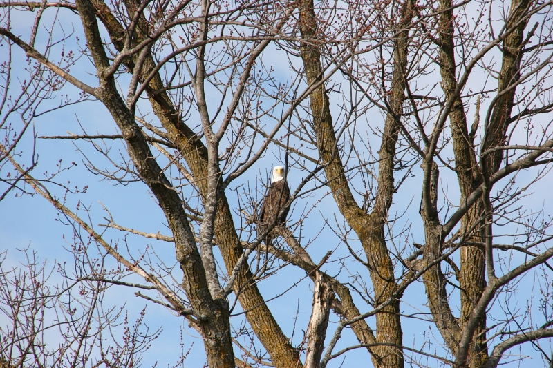 Just south of Union Lake Trail along Rice County Road 46, a bald eagle watched me...
