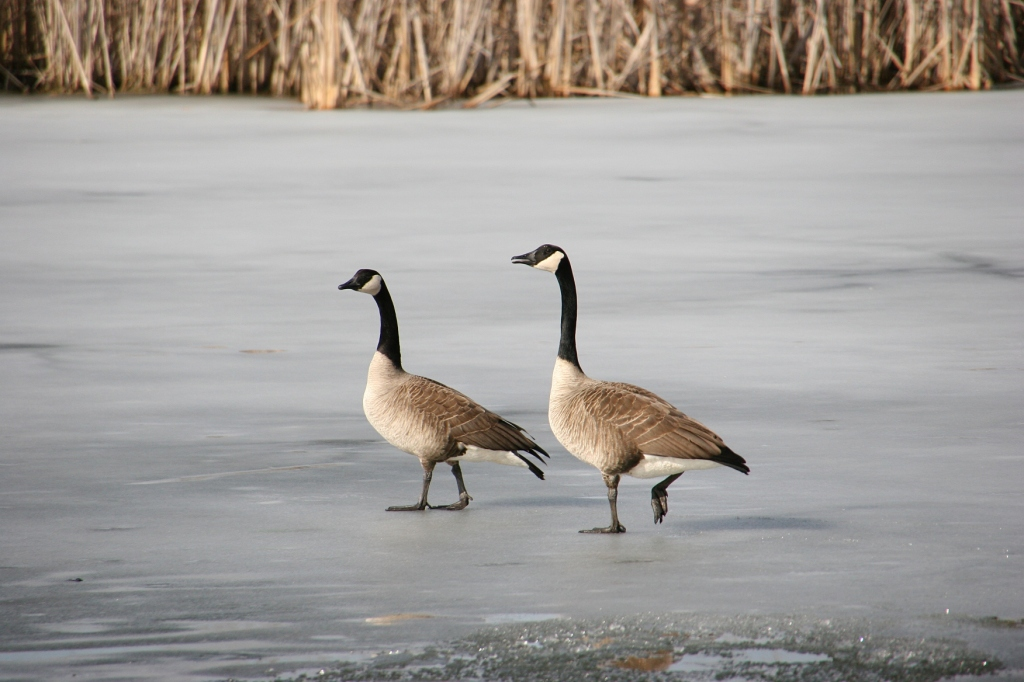 At Faribault Energy Park Sunday afternoon, geese dealt with frozen and partially open pond water.