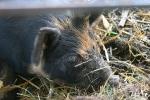 Church fest, petting zoo #153 pigclose-up