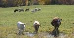 Harvest, #275 cattle inpasture