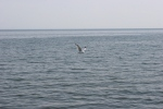 Mille Lacs Lake, #64 seagull flyingover