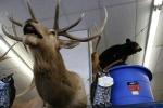 Pequot Lakes, Hardware store deer head closeup#195