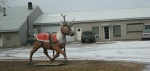 Rural southern Minnesota, #20 reindeerstatue