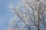 Trees, #1 iced clusterof