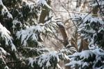 Trees, #50 snow onevergreens