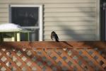 Snowy scene in MN, #81 robin onfence