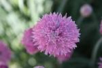 Botanical gardens, #135 purple flowerclose-up