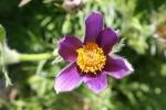 Botanical gardens, #178 single purpleflower