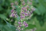 Peonies, #95 lilacs