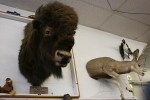 Pequot Lakes, Hardware store buffalo head#194