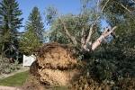 Damage along Fourth Ave SW, #14 base of uprootedtree