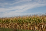 Backroads, #110 cornfield