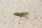 Backroads, #64 grasshopper