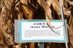 Seed Savers, #243 Aunt Mary's cornsign