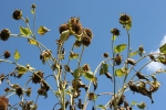 Seed Savers, #244sunflowers