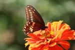 Seeds, #233 butterfly onzinnia