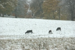 Snow, #257 cattle infield