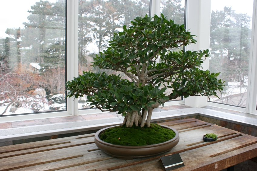 Bonsai Tree In Minnesota Bonsai Tree