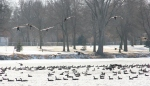 Winter walk in Minnesota, #23 geeseflying
