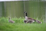 Spring in Faribault, #56 geese along CannonRiver