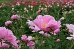 Peonies, #152 pink peony & fieldbehind