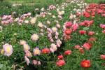 Peonies, #155 pink & coral peonyrows