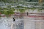 Faribault Energy Park, #16 ducks onpond