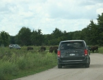 Bison, #133 throughwindshield