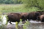 Bison, #144 herd inwater