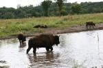 Bison, #148 walking inwater