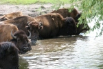 Bison, #151 splashing inwater