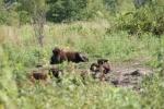 Bison, #182 grouplounging