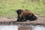 Bison, #188 single bison lyingdown