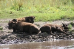 Bison, #193 3 bisonresting