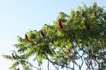 Autumn plants, #39sumac