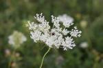 Autumn plants, #66 single whiteflower
