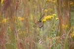 Nature center, #52 Monarch butterfly inprairie