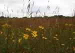 Nature center, #66 prairie flowers &grasses