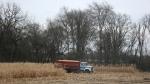 SW MN, #4905 grain truck in cornfield near NewUlm
